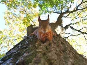A brown squirrel on green leafed tree