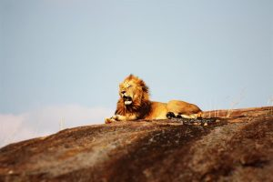 A lion on ground Wildlife Wallpapers lion on ground during daytime animals resized 300x200