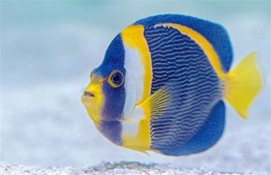 Photo of a blue and yellow finned fish