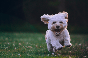 Photo of a white shih tzu puppy running on the grass Funny Wallpapers shallow focus photography of white shih tzu puppy running on the grass cute dog resized 300x200