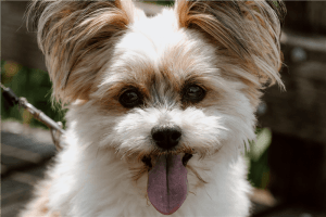 A white and brown puppy sticking its tongue out Funny Wallpapers white and brown puppy sticking its tongue out cute dog resized 300x200