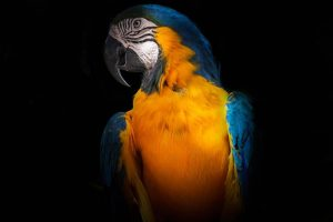 A yellow and blue macaw