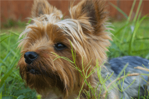 Yorkshire Terrier lying on grass covered ground photo