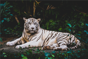 albino tiger lying on ground at nighttime photo