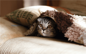brown Scottish fold in brown thick-pile blanket photo