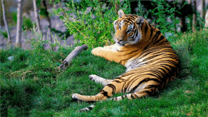 brown and black tiger lying on green grass during daytime photo