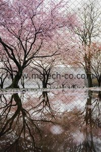 cherry blossom trees near river photo