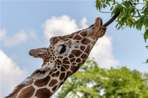 giraffe reaching tree leaves by its tongue during daytime photo