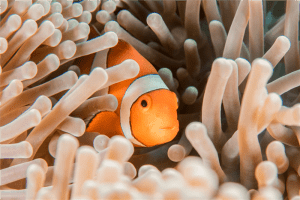 orange and white clownfish hiding in sea anemone photo