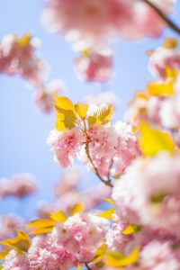 pink cherry blossom tree during daytime photo