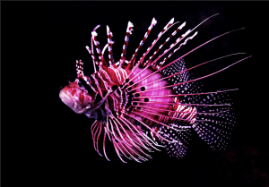 pink tiger fish photo