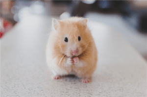 selective focus photography of brown hamster photo