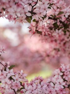 selective focus photography of cherry blossoms photo