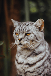 shallow focus photography of silver tabby cat photo