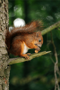 vabrown squirrel on branch of tree eating nut photo
