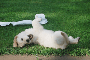 white puppy rolling on green grass photo