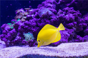 yellow Oscar fish photography photo