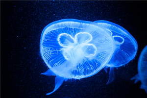 glow in the dark blue jelly fish photo