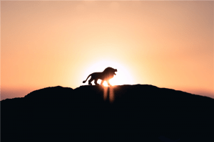 lion roaring on top of mountain during golden hour photo